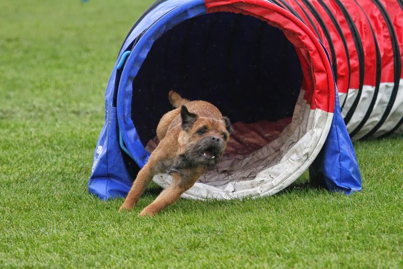 dog running through tunnel near erie, pa in dog agility