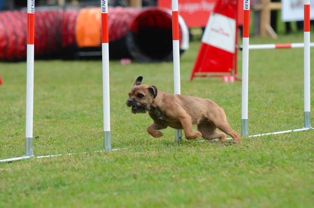 dog running through weave poles in dog agility