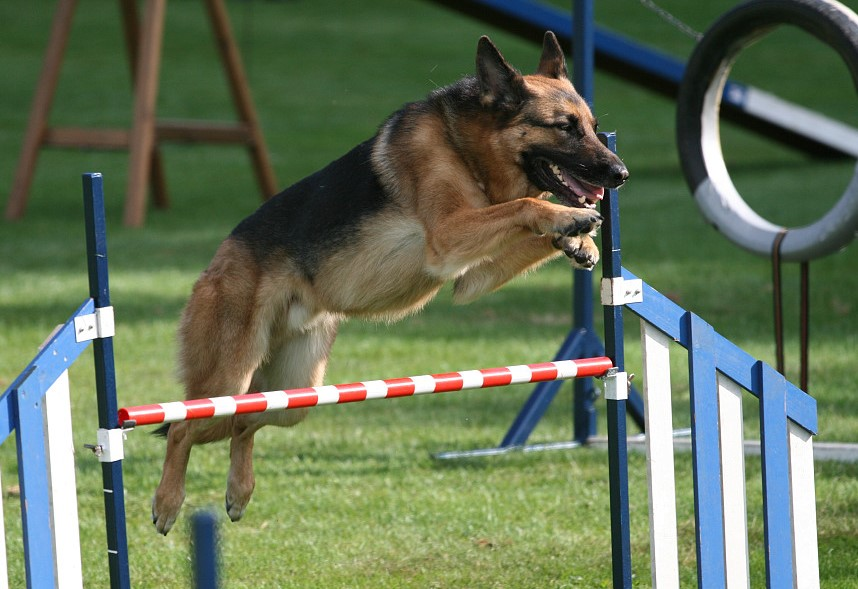 large dog jumping in dog agility course